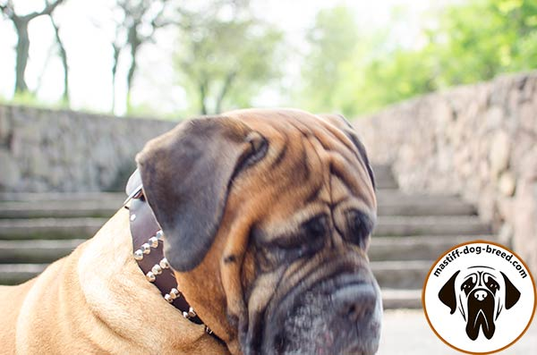 Unmatchable extra wide leather canine collar for Bullmastiff with pyramids