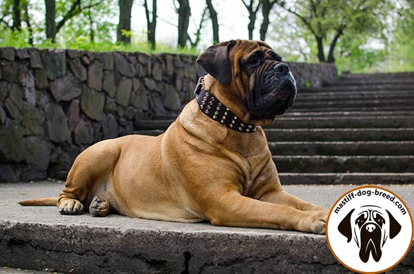 4 rows studded leather dog collar for Bullmastiff