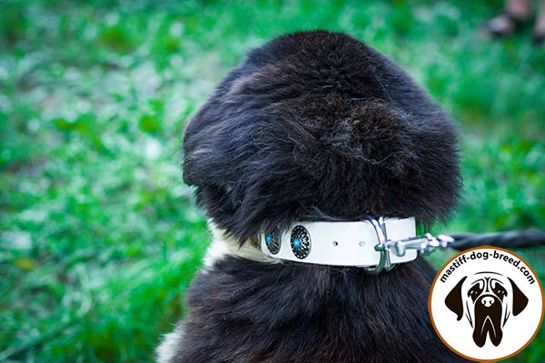 Decorated white leather Mastiff collar