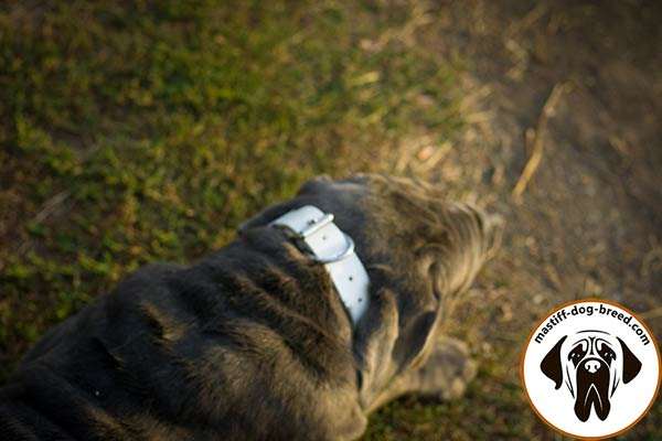 Durable leather Mastino Napoletano collar with nickel plated hardware