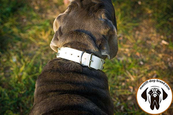 Leather Mastino Napoletano collar with nickel plated fittings
