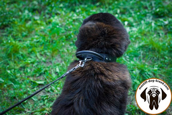 Reliable leather canine collar for Mastiff with corrosion resistant hardware