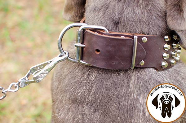 Leather canine collar for Mastino Napoletano with strong nickel plated buckle and D-ring