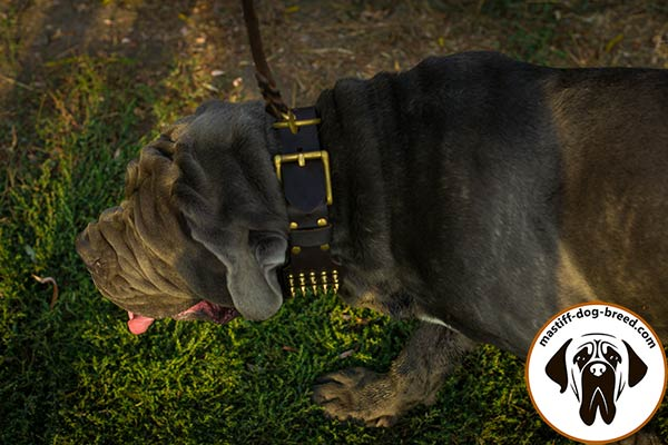 Leather dog collar for Mastino Napoletano with brass buckle