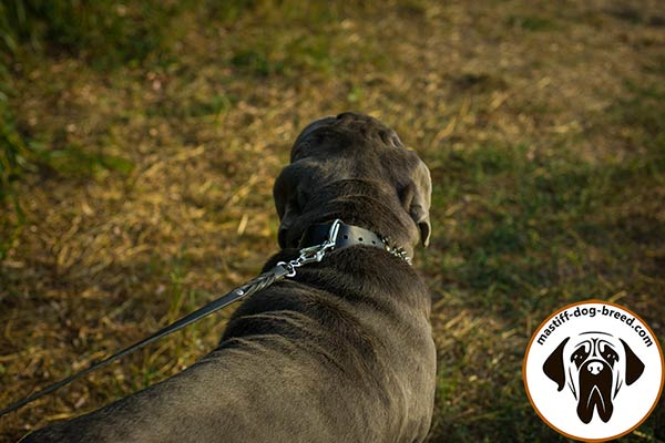 Designer leather dog collar for Mastino Napoletano with nickel plated fittings