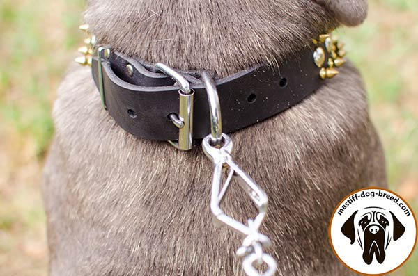 Handmade leather dog collar for Mastino Napoletano with nickel plated hardware