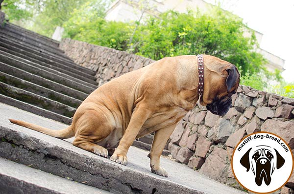 Mastiff leather collar of classy design with traditional buckle for daily walks