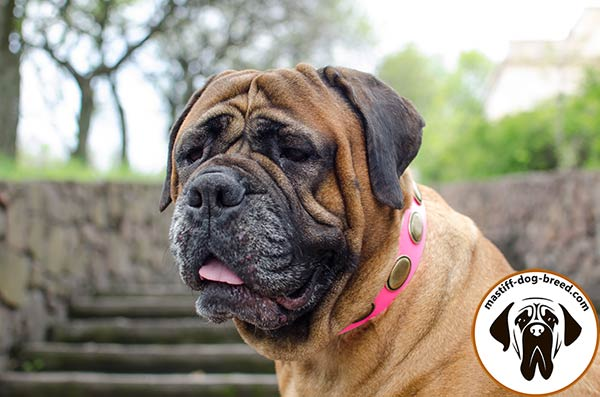 Pink leather dog collar for Bullmastiff with large oval plates