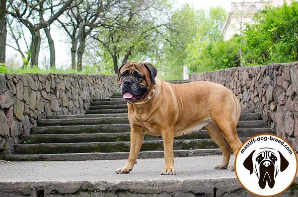High quality adorned leather Bullmastiff collar