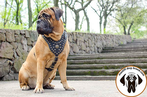 Embellished royal leather Bullmastiff harness
