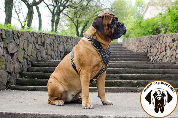 Easy-adjustable leather Bullmastiff harness