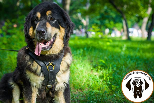 Leather Mastiff harness for attack/agitation training