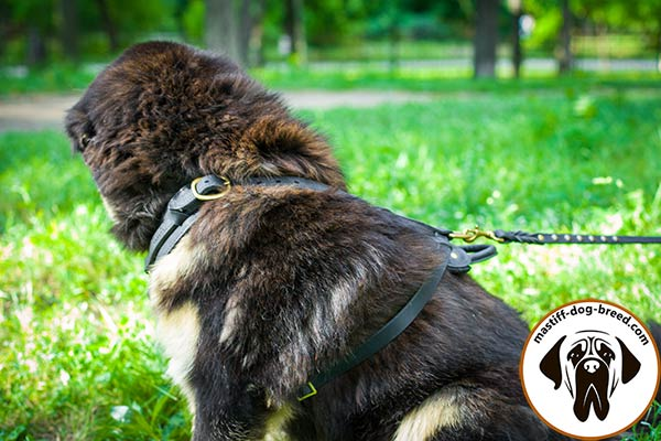 Easy-to-use leather Mastiff harness