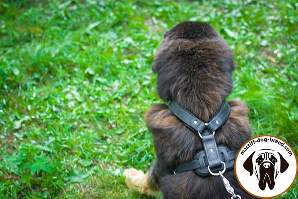 Leather Mastiff harness with nickel plated hardware