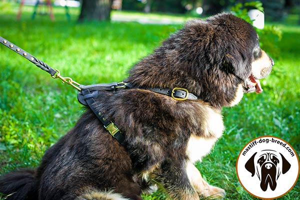 Easy-to-use leather Mastiff harness with quick release buckle