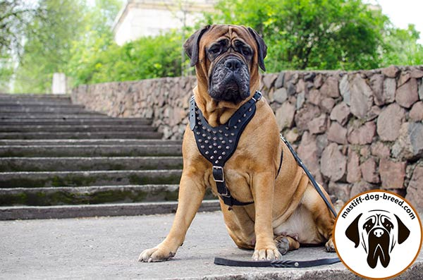 Easy-to-adjust leather dog harness for Bullmastiff