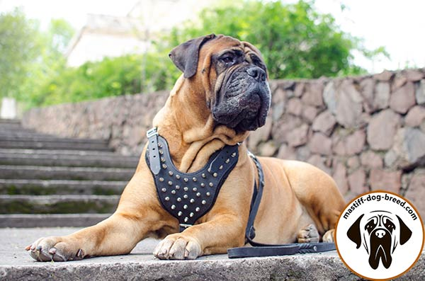 Top-quality leather dog harness for Bullmastiff with spikes