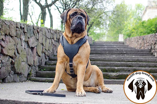 High-grade leather dog harness for Bullmastiff with wide smooth chest plate