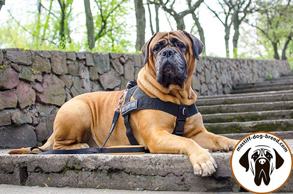 Comfy nylon Bullmastiff harness for effective training