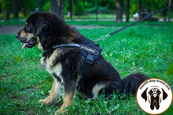 Nylon Mastiff harness with quick release buckle