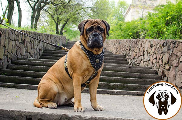 Mastiff leather leash with durable hardware for safe walking
