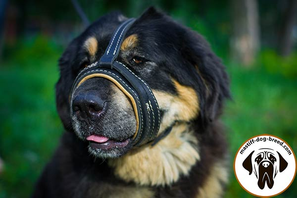 Stitched-with-white-thread leather dog muzzle for Mastiff